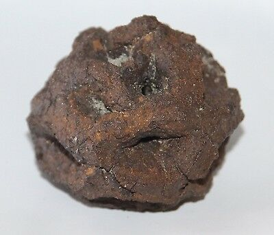 Meta Sequoia Pine Cone Fossil - Dinosaur Age Hell Creek - Huge And Dark Color