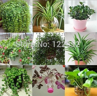 50 pcs Indoor air purification pearls hydroponic Chlorophytum plant seeds
