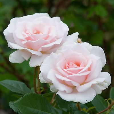 "ROSIER  ""A Whiter Shade of Pale"" Limes New Roses 8 Graines Zaden 8 Seeds"