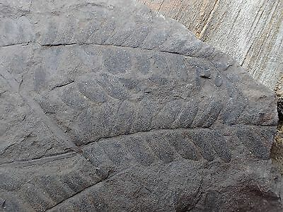 Outstanding Multiple Fern Leaf Frond Fossil, Pennsylvanian Period, from Georgia