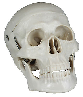 Anatomical Lifesize Human Skull Flexible Anatomical Model