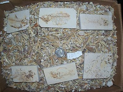 1 fossil fish and 100 brown Moroccan fossil shark teeth per lot