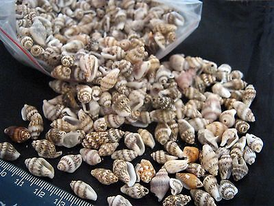 BULK 100 Mini Brown and White Sea Shells for Jewellery and Crafts 10 mm Long