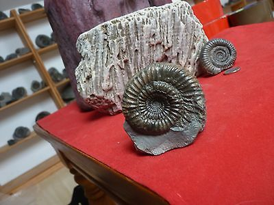 .whitby uk fossil ammonite. rare type. fat dac 50mm.in matrix free standing