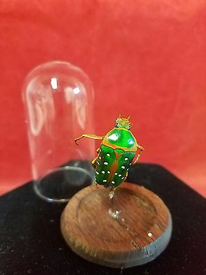 * Entomology/Taxidermy Large Beetle Glass Dome Display-////insect/bug-S. Gutta