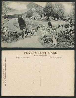 Ceylon Old Postcard CARTING TEA from FACTORY Double Bullock Carts Cattle Workers