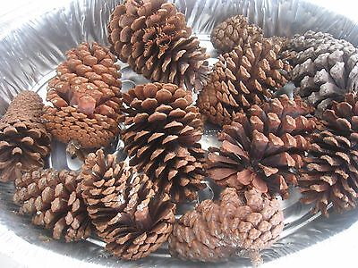 """GRAB BAG OF TEXAS PINE CONES 10 IN A PKG (4"""" to 5"""") FOR WAXING/FIRESTARTERS"""
