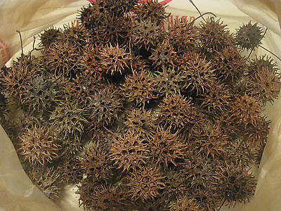 Grab Bag Of 100 Texas Sweet Gum Balls, With And Without Stems