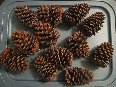 """Texas Pine Cones, Large (4-1/2"""" To 4-3/4""""),  Loblolly And Slash, Set Of 12"""