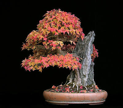 chinese triden maple -- acer buergerianum --  3 year old seed grown plant