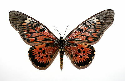 Insect Butterfly Moth Papilionidae Papilio antimachus-FEMALE-World Rarity!!