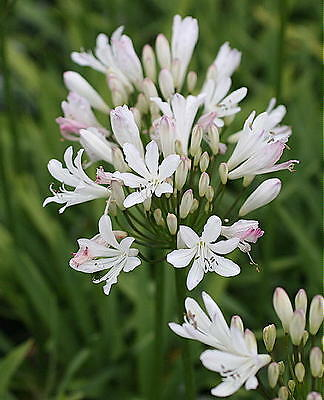 3 Agapanthus Strawberry Ice  garden perennial plant