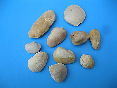 Texas Fossil Cretaceous age Lot of 10 Clams Assorted   #  1902