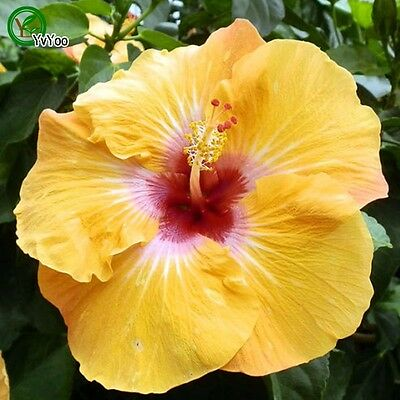 100 pcs GIANT HIBISCUS Flower Seeds Hardy Mix Color DIY Home Garden Potted