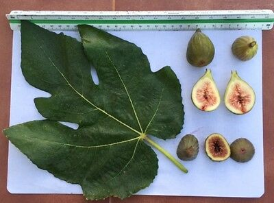 Delicious Fig Trees * Ficus Carica Var. HORCALICES  3 fresh cuttings