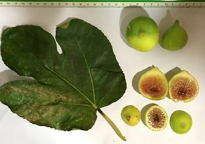 Delicious Fig Trees * Ficus Carica Var. DOTATTO 3 fresh cuttings