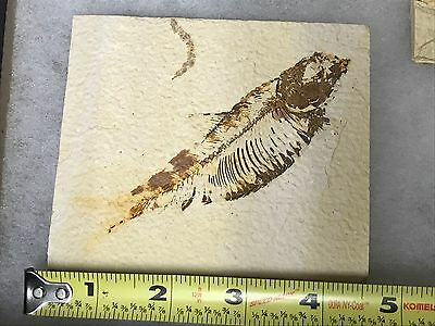 (#8) Knightia Eocaena Fish Fossil Green River Formation Wyoming Eocene Age