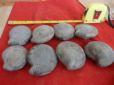 DACTYLIOCERAS  .whitby uk fossil ammonite/s X8 for prepping,60-70mm