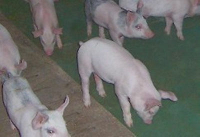 Wean to Finish Mat 4x4 Confinement Farrowing Supplies Pigs Sows Swine