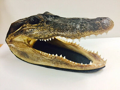 REAL Alligator Head 5-6 Inches Genuine Real Gator American Taxidermy Reptile