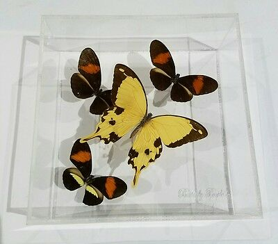 Dried Butterflies/ Dried and framed Insects / Butterfly in Plastic Box