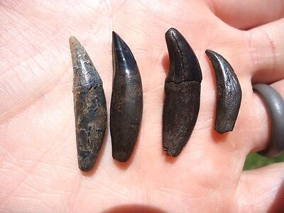 4 Quality Canine Teeth Florida Fossils Fossil Carnivore Tooth Wolf Cat Bear Fl @