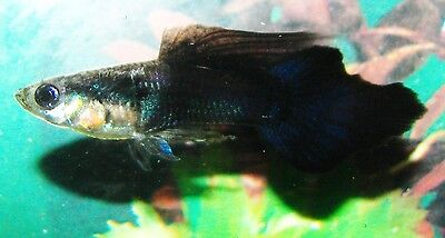This Breeding Pair Black,Big Ear,Speartail  Guppies NEW eXtra lots p&p £2