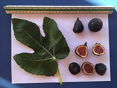 Delicious Fig Trees * Ficus Carica Var. MARTINENCA 3 fresh cuttings