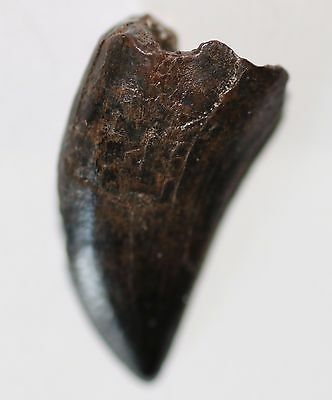 RAPTOR TOOTH Dinosaur Fossil Theropod Meat Eater from HELL CREEK LATE CRETACEOUS
