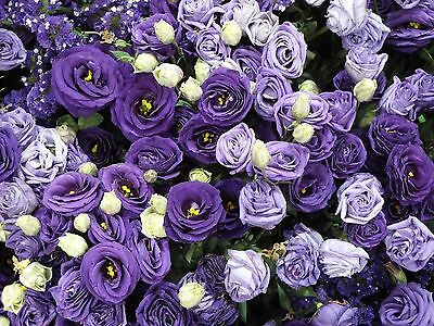 50 Pcs Purple Lavenda Rose Flower Seeds Garden Plant Rose Flower Seed Home New