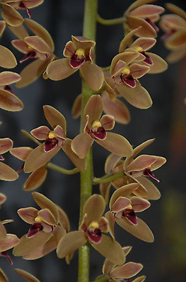 Orchid Cymbidium Cricket, Flowering Size Division Miniature Cascade