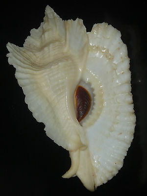 Pterynotus bednalli w/o 91.0mm GLOSSY ALABASTER WHITE WIDE WINGED RARE CHOICE