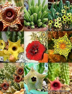 HUERNIA MIX,  variety stapelia exotic succulent rare cactus plant seed -5 SEEDS