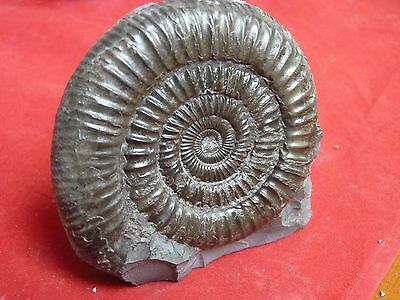 DACTYLIOCERAS .whitby ammonite. free standing cut base.82mm ammonite