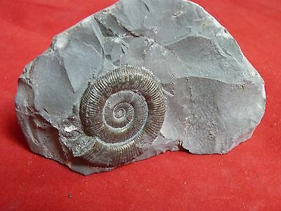PERNOCERAS .whitby ammonite. free standing cut base.40mm golden ammonite