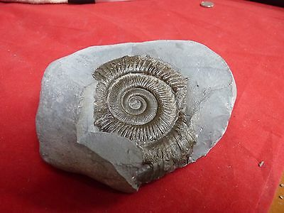 BIGG PERNOCERAS .whitby ammonite.120mm free standing cut base.80mm  ammonite