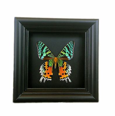 Real Framed Butterfly Shadowbox - Handmade Butterfly Home Decor