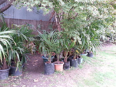 TRACHYCARPUS-FORTUNEI-CHINESE-WINDMILL-PALM in 25lt bag