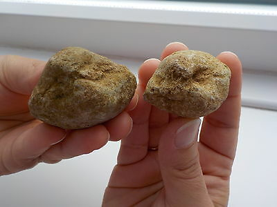 Two Prehistoric Venericor Planicosta Fossil's Metal Detecting Find Eyes Only