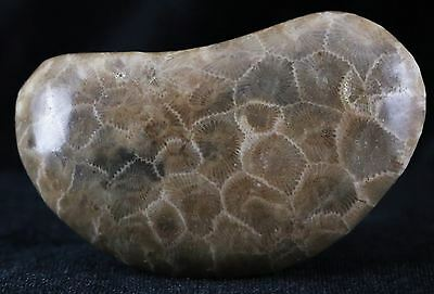 Petoskey Stone Coral Fossil Polished Hexagonaria 350 Million Years Old