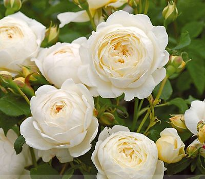 50 pcs Imported 'Claire Austin' Rare White Shrub Rose Flower Seeds