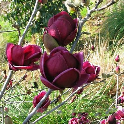 Rare Genie Dark Red Yulan Magnolia Tree plant Flower 50 Seed Fragrant Garden