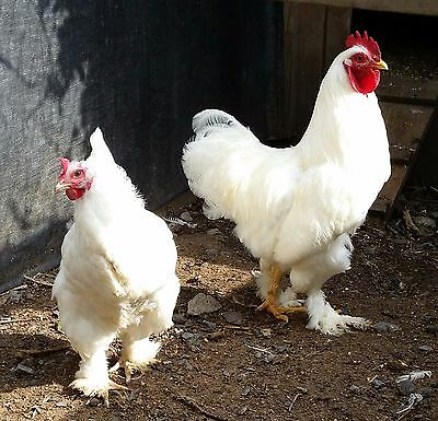 standard white cochin chicken hatching eggs