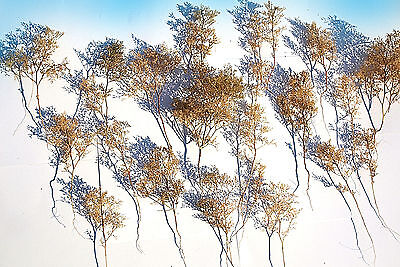 Super Realistic model Trees Teloxis bush armatures for all O HO N scale scenery