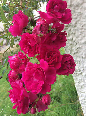 Red Climbing Rose Plant in a Pot