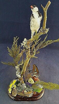 SALE*LONG Pintail Whydah Finch Taxidermy Bird Display -- Victorian Look-Natural