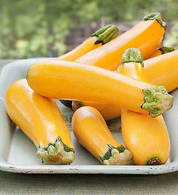 4x COURGETTE PLANTS  - Gold Zucchini - Vegetable Plug Seedlings -- 1st Class