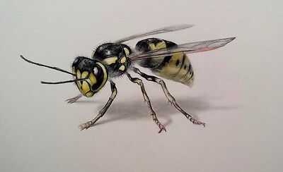 "Wasp drawing colored pencil on paper 6""x10"""