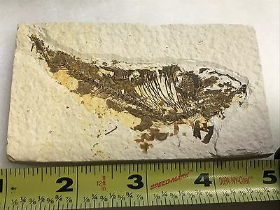 (#48) Knightia Eocaena Fish Fossil Green River Formation Wyoming Eocene Age