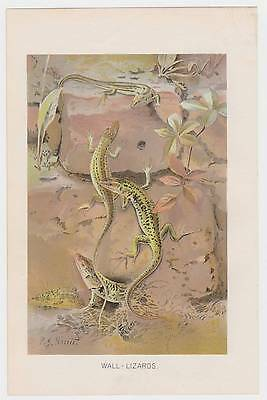 antique color Print of Wall LIZARDS 1901 Natural History Chromolithograph